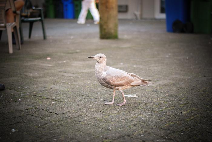 seagull granville island