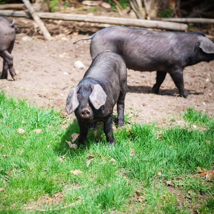 viamede pigs 2