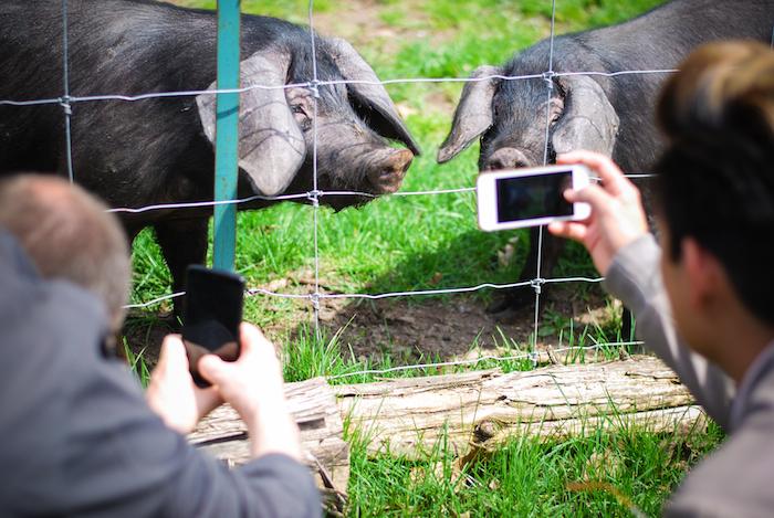 viamede pigs